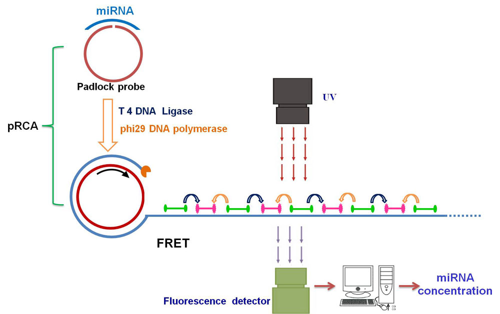 Specific Quantification MicroRNA by Coupling Probe-Rolling Circle Amplification and Förster Resonance Energy Transfer-medicine innovates