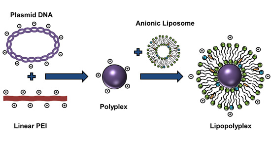 Composite liposome-PEI/nucleic acid lipopolyplexes for safe and efficient gene delivery and gene KD - Medicine Innovates