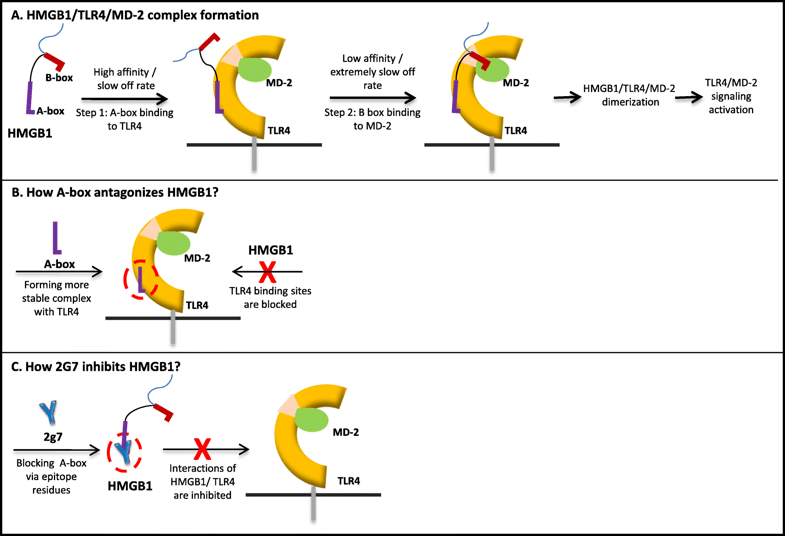 Kinetics of HMBG1/TLR4/MD-2 complex formation - Medicine Innovates
