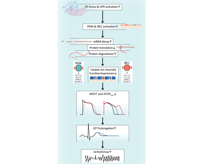 Unfolded Protein Response Downregulates Cardiac Ion Channels Pluripotent Stem Cell-Derived Cardiomyocytes -Medicine Innovates
