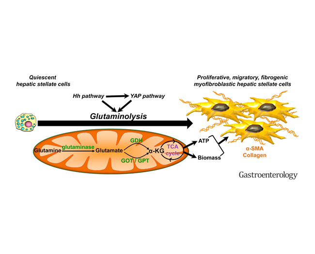 Liver fibrosis: why, where, and how glutaminolysis plays a role-Medicine Innovates