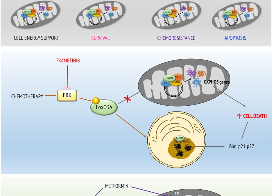 Uncoupling FoxO3A Mitochondrial and Nuclear Functions in Cancer Cells Undergoing Metabolic Stress and Chemotherapy