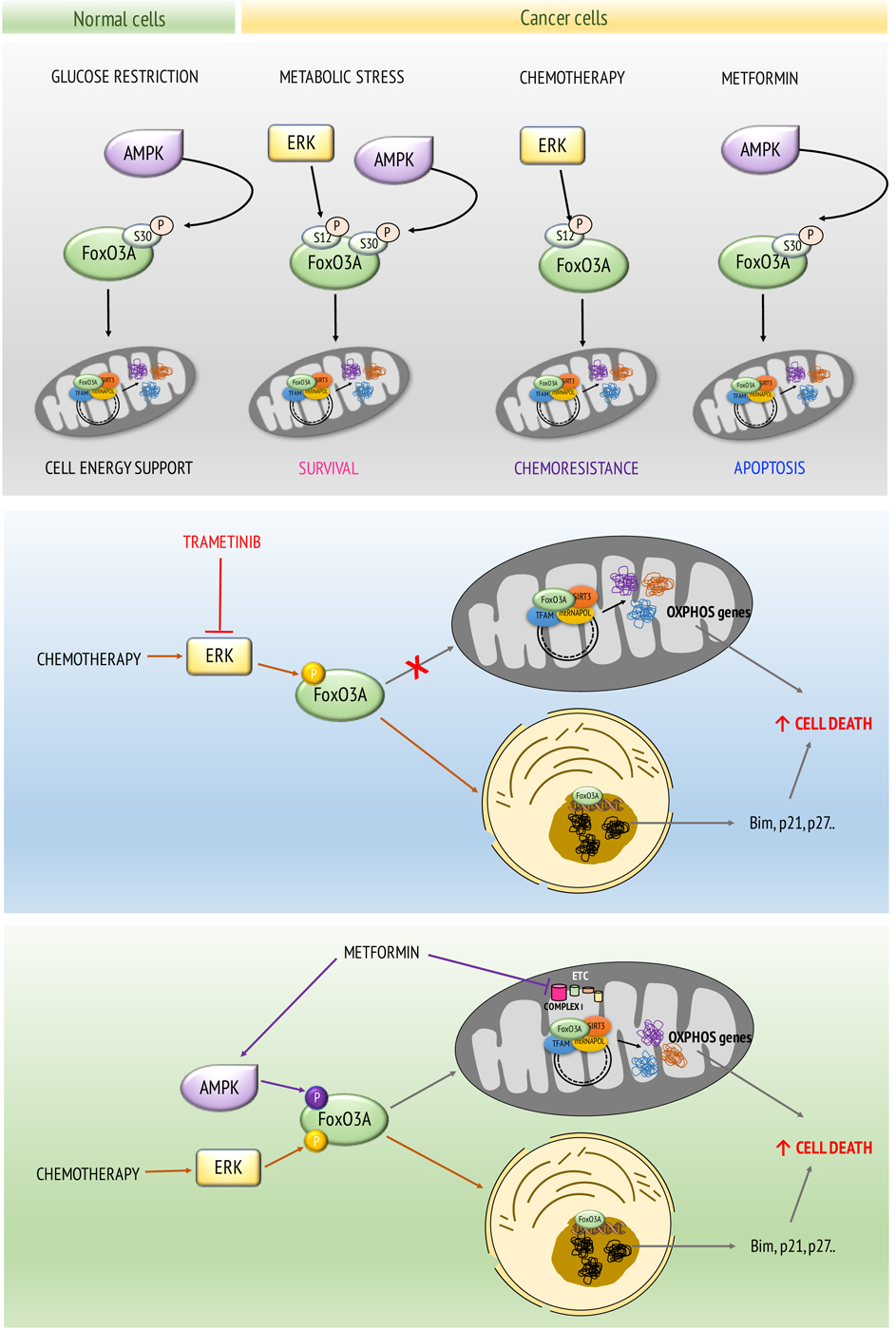 Uncoupling FoxO3A Mitochondrial and Nuclear Functions in Cancer Cells Undergoing Metabolic Stress and Chemotherapy - Medicine Innovates
