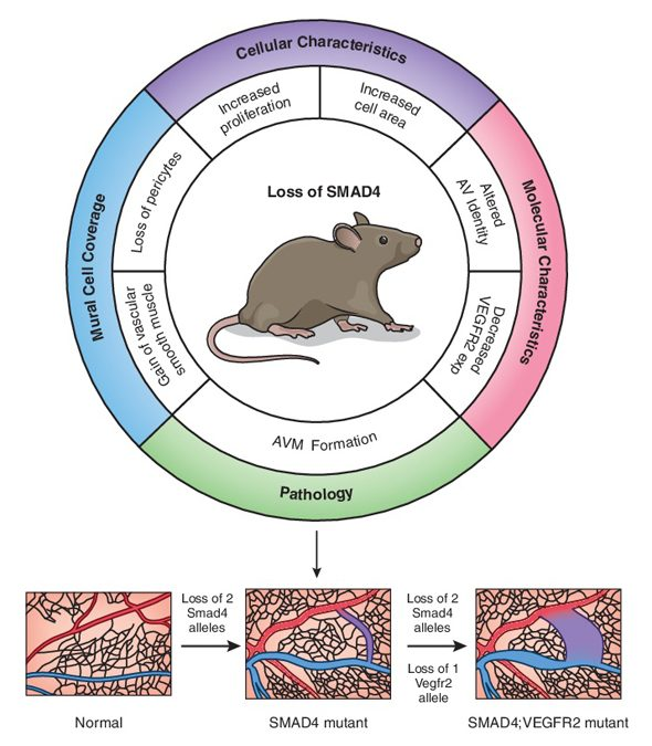 Vascular deficiency of SMAD4 causes arteriovenous malformations: a mouse model of Hereditary Hemorrhagic Telangiectasia