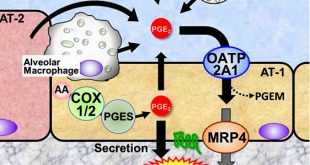 The prostaglandin transporter OATP2A1/SLCO2A1 redistributes secreted PGE2 to the place where it is needed - Medicine Innovates