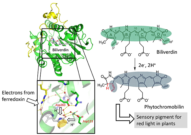 Crystal structure of phytochromobilin synthase in complex with biliverdin IXα a key enzyme in the biosynthesis of phytochrome - Medicine Innovates