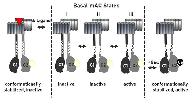 Gsα stimulation of mammalian adenylate cyclases regulated by their hexahelical membrane anchors - Medicine Innovates