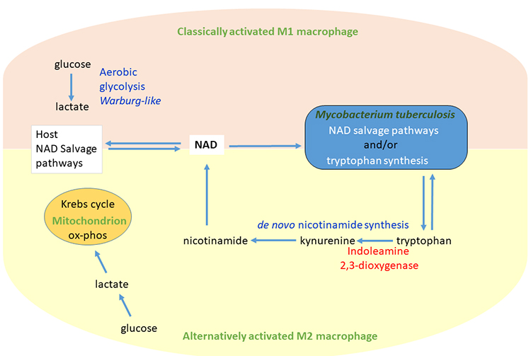 Evolutionary Views of Tuberculosis: Indoleamine 2,3-Dioxygenase Catalyzed Nicotinamide Synthesis Reflects Shifts in Macrophage Metabolism - Medicine Innovates