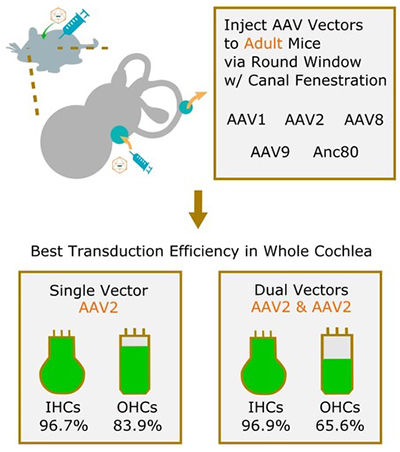 Hair Cell Transduction Efficiency of Single- and Dual-AAV Serotypes in Adult Murine Cochleae - Medicine Innovates