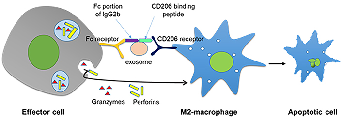 Generation of Novel Diagnostic and Therapeutic Exosomes to Detect and Deplete Protumorigenic M2 Macrophage - Medicine Innovates