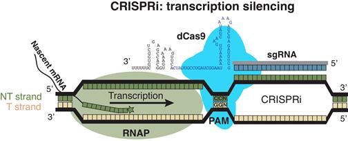 CRISPRi screens reveal sources of metabolic robustness in E. coli - Medicine Innovates