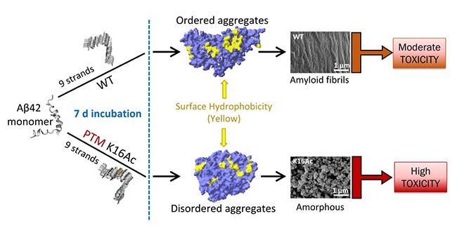Effect of Acetylation on Amyloid Beta Toxicity - Medicine Innovates