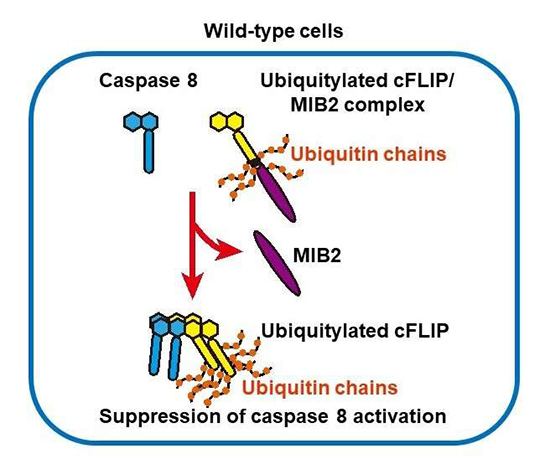 MIB2 plays an essential role in suppressing caspase 8-mediated cell death - Medicine Innovates