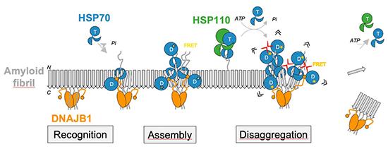 Hsp70 chaperones dissolve protein aggregates in Parkinson's disease - Medicine Innovates