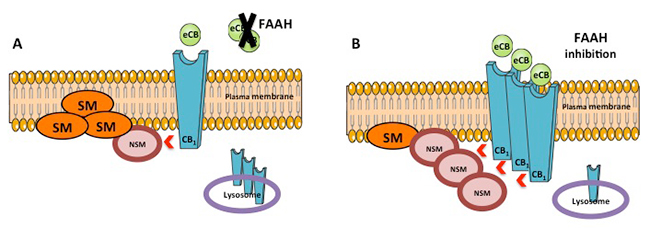 Inhibition of fatty acid amide hydrolase prevents pathology in neurovisceral acid sphingomyelinase deficiency by rescuing defective endocannabinoid signaling - Medicine Innovates