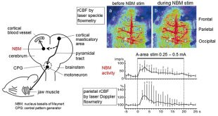 Involvement of the basal nucleus of Meynert on regional cerebral cortical vasodilation associated with masticatory muscle activity in rat - Medicine Innovates
