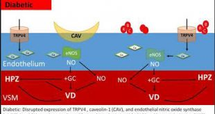 Dysregulation of TRPV4, eNOS and caveolin-1 contribute to endothelial dysfunction - Medicine Innovates