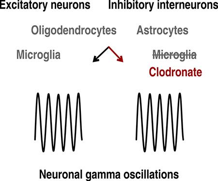 Nonreactive microglia are dispensable for neuronal signaling and rhythm generation in postnatal brain tissue - Medicine Innovates