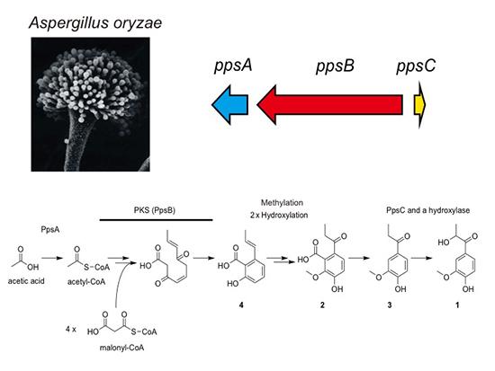 Discovery of the 2,4'-Dihydroxy-3'-methoxypropiophenone Biosynthesis Genes in Aspergillus oryzae - Medicine Innovates